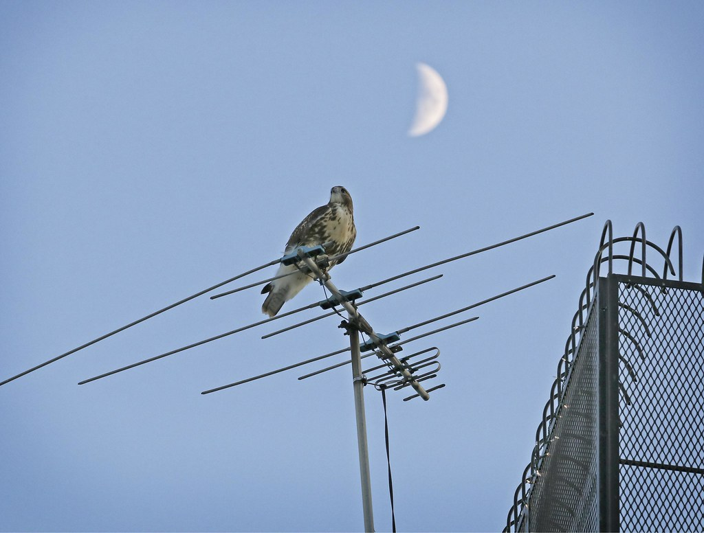 Hawk and moon