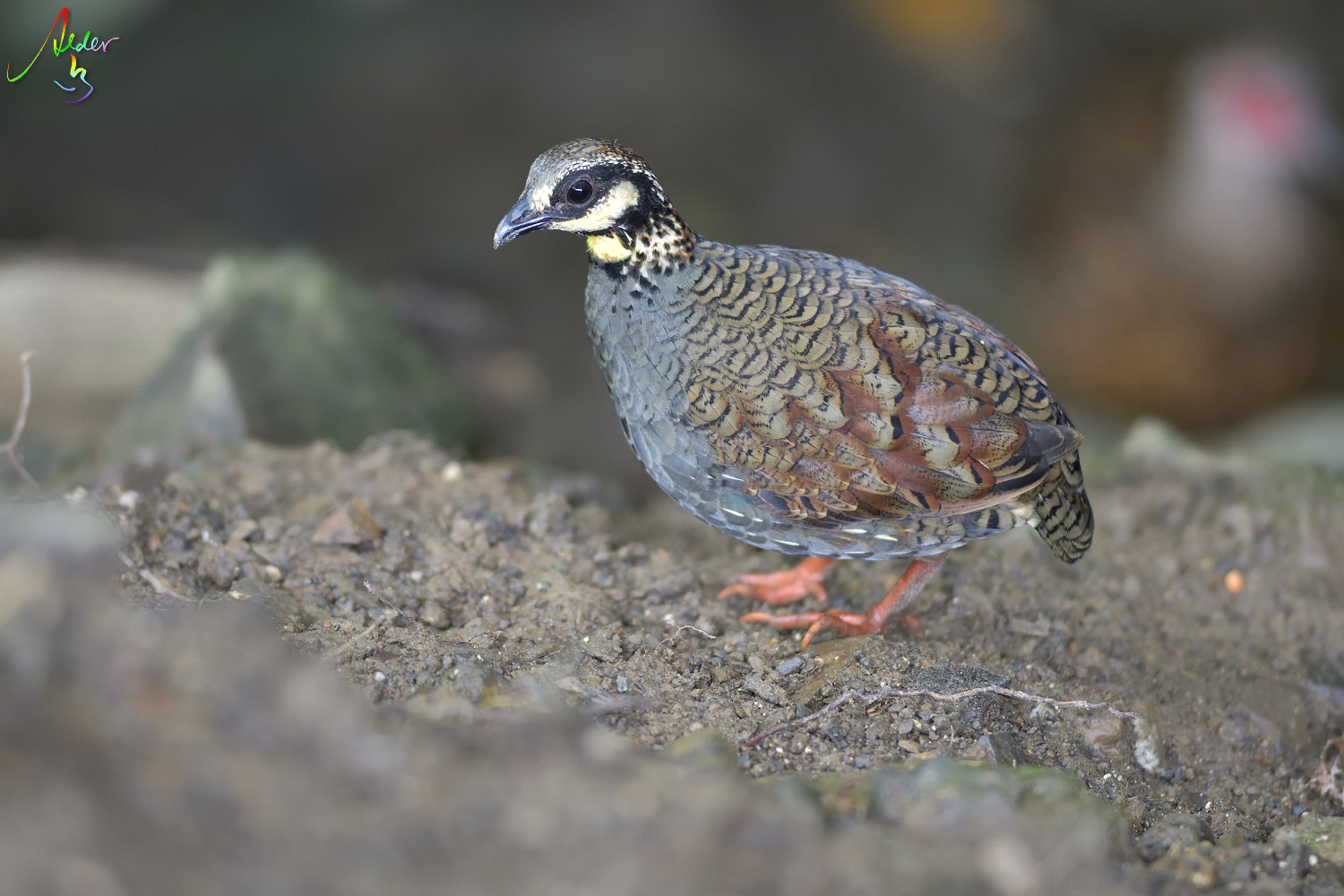 Taiwan_Hill_Partridge_9066