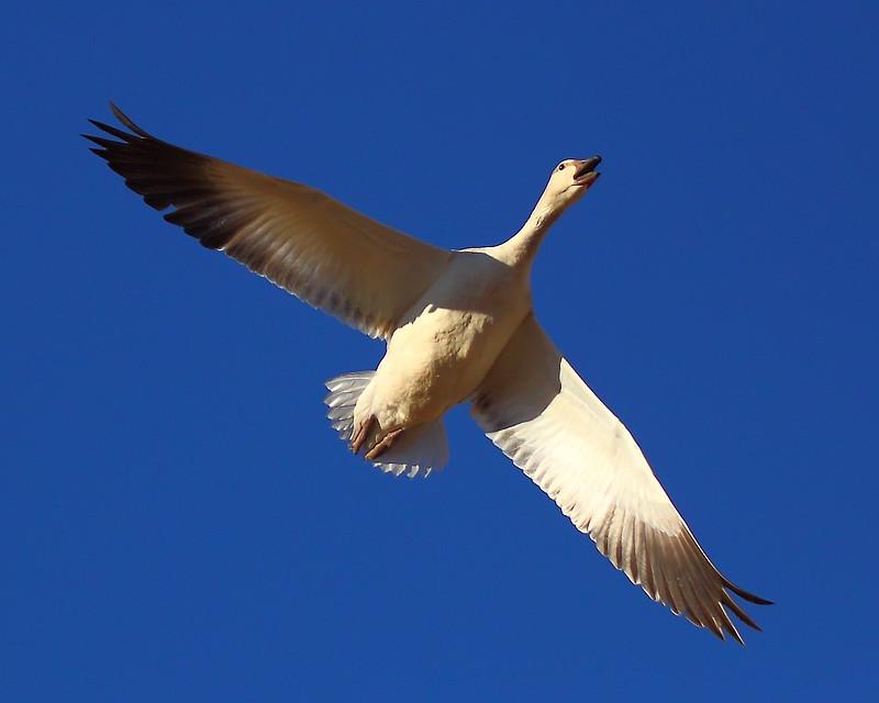 IMG_6821 Snow Goose