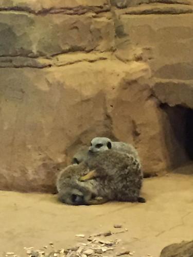 Meerkats - Colchester Zoo