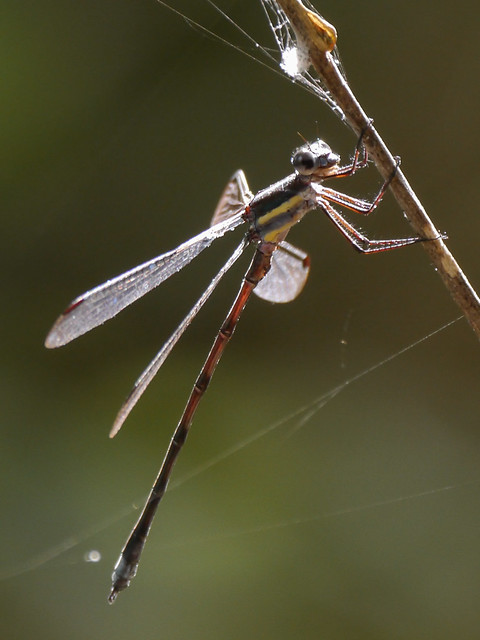 Great Spreadwing - 1