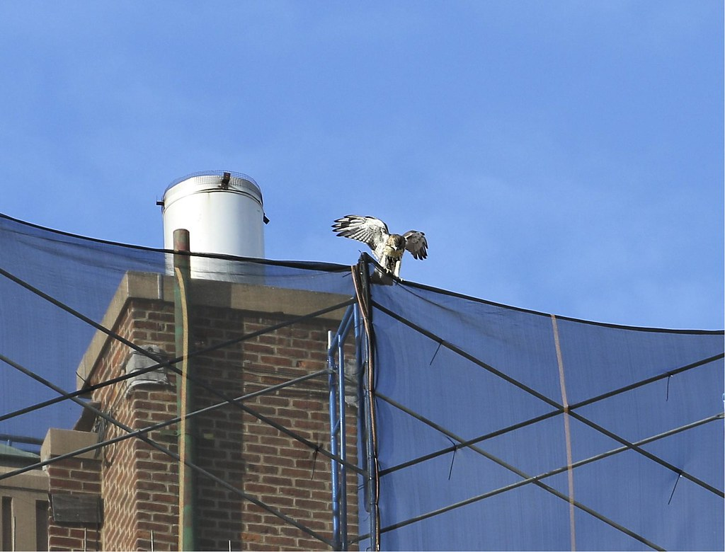 Fledgling hawk on the Christadora Building