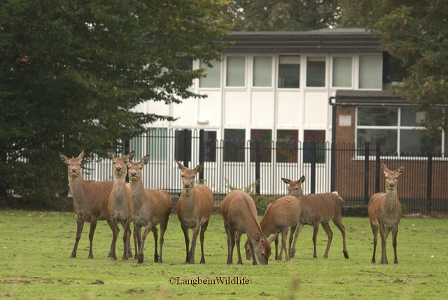 Peri-urban red deer by School