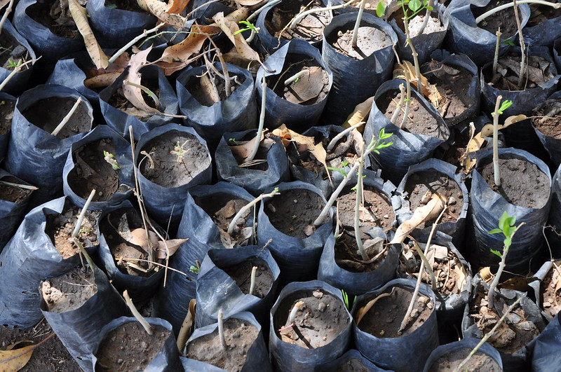 Seedlings at an ICRAF tree nursery in Burkina Faso. Photo by Cheikh Mbow/ICRAF