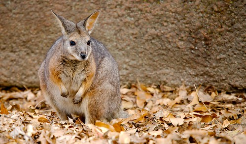 Tammar Wallaby (Macropus eugenii),_2