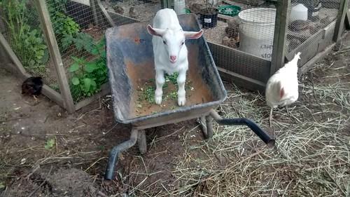 goat kid in wheelbarrow June 16 (2)