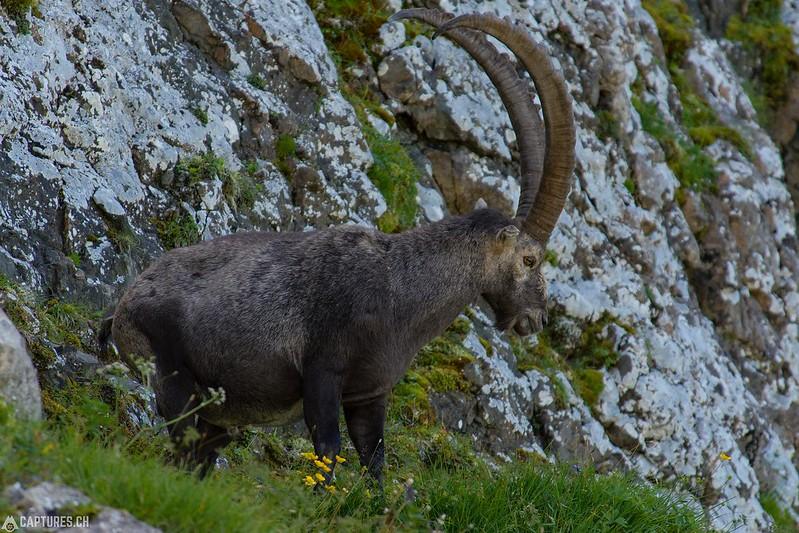 Alpine Ibex 4 - Brienzer Rothorn