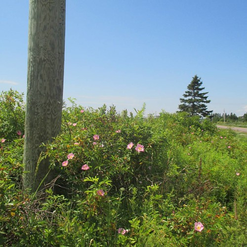 Telephone pole and wild roses #pei #victoria #victoriabythesea #beach #lowtide #northumberlandstrait #wildrose #latergram