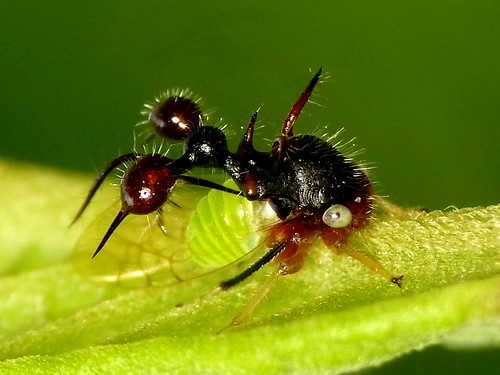 Ant-mimicking treehopper, Cyphonia clavata   more photos ...   500 x 375 jpeg 99kB