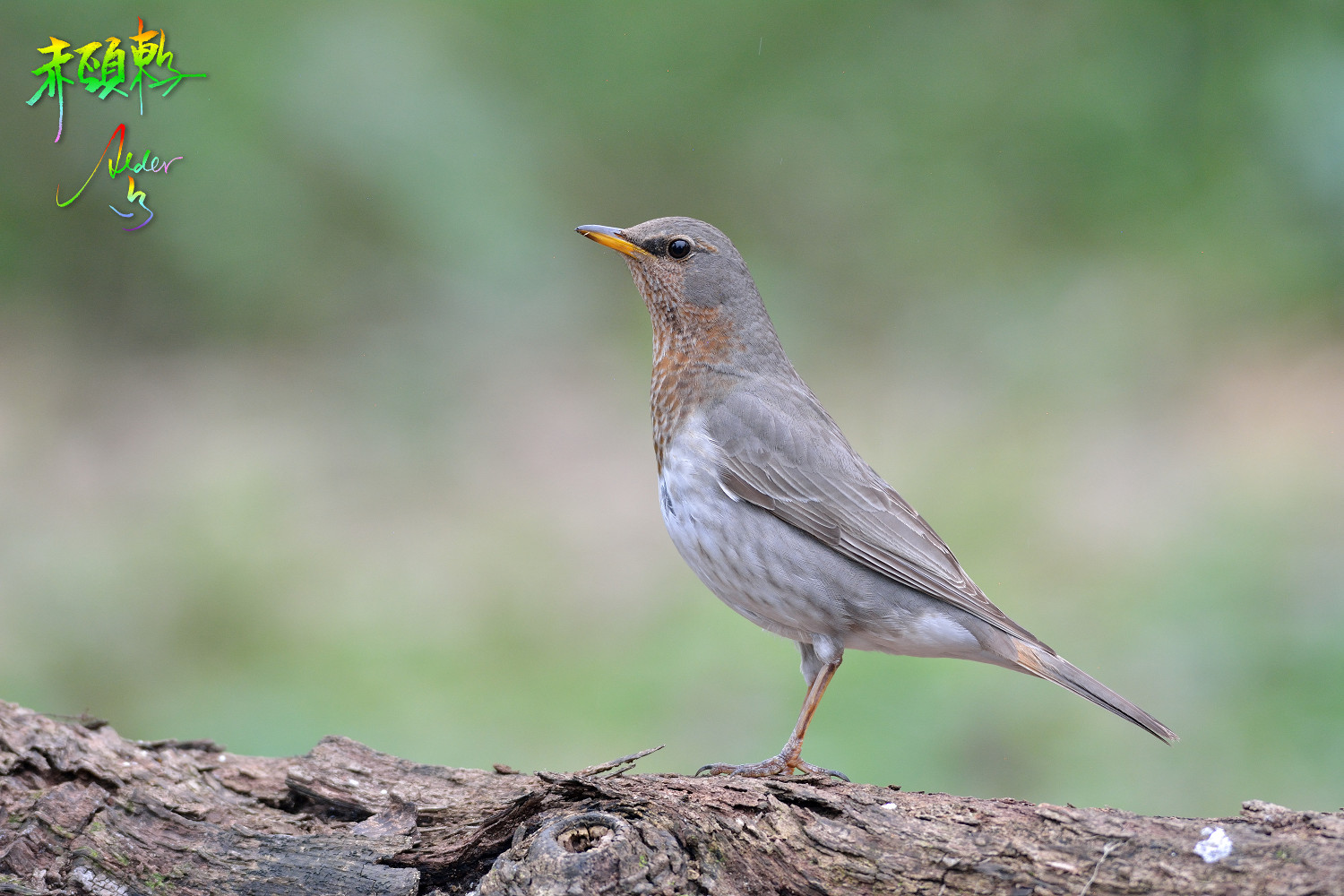 Red-throated_Thrush_2254