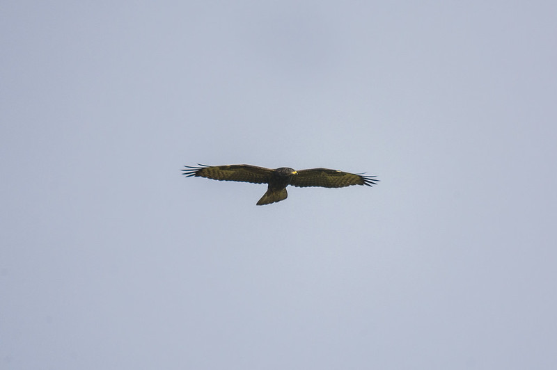 Honey Buzzard, Pegsdon Hills, 3rd Sept 2016