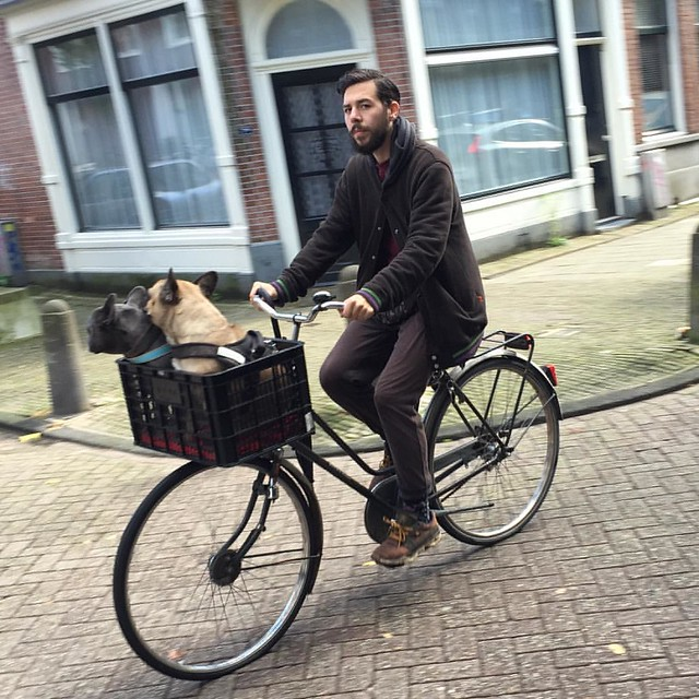 #frenchbulldogs becoming #Dutch. #roughlife #Amsterdam #dogslife #dutchbikes