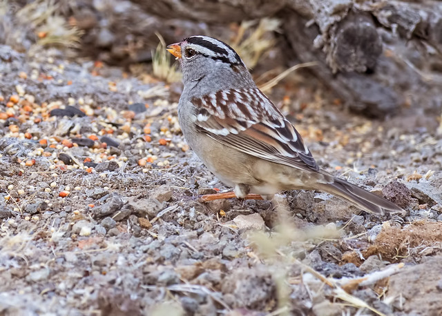 White-crowned-Sparrow-1-7D2-102316