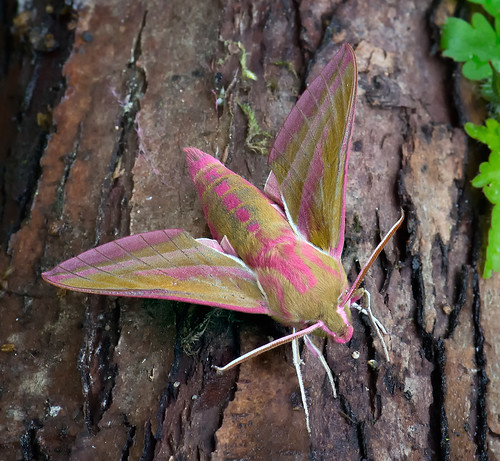 Elephant Hawk-moth Deilephila elpenor Tophill Low NR, East Yorkshire July 2016