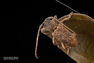 Longhorn beetle (cf. Pterolophia sp.) - DSC_5902