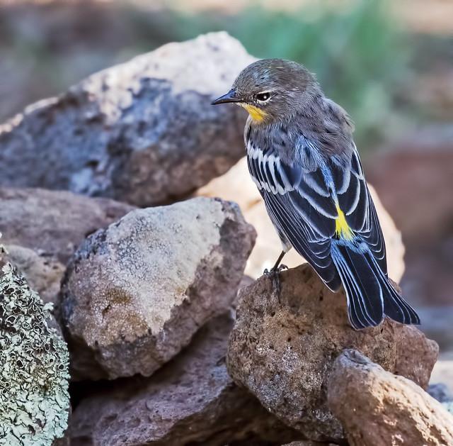 Yellow-rumped-Warbler-1B-7D2-130816
