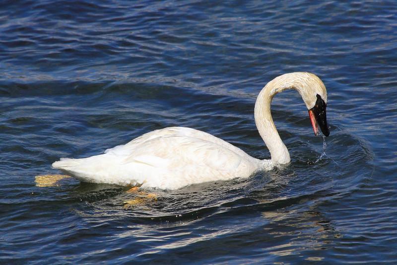 IMG_2211 Trumpeter Swan, Yellowstone National Park