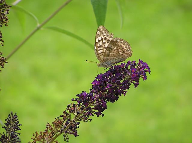 Argynnis paphia L., rohetäpik