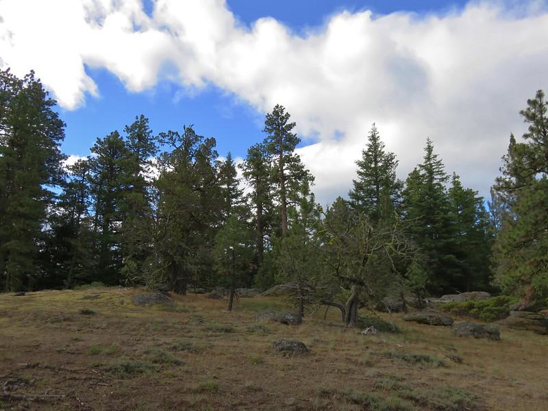 A couple of Juniper trees along the Cedar Creek Trail