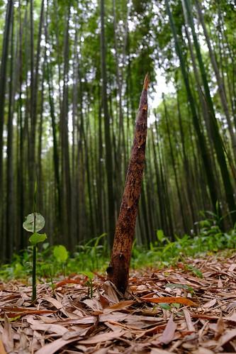 初夏の竹林は青く、真っ直ぐに空を目指す