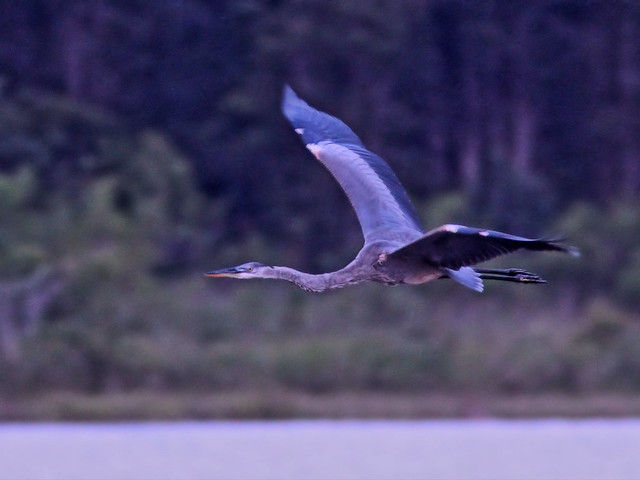 Great Blue Heron in flight 02-20160727