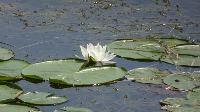 First Waterlily