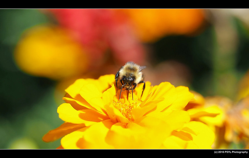 Bumblebee (Bombus sp.) visiting flowers
