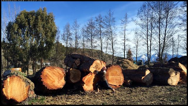 Old Man pines