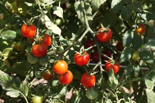capay_organic _cherry_tomatoes
