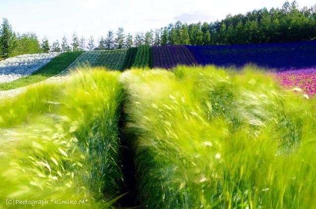 ビール大麦ー彩りの畑