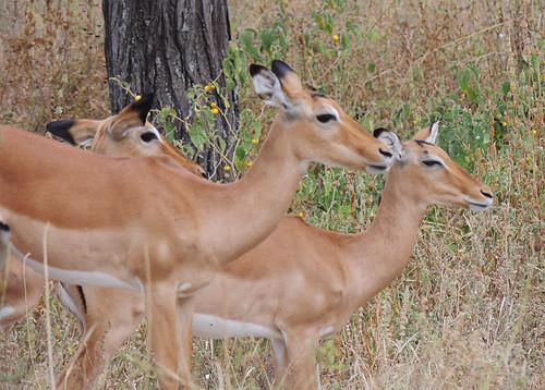 Tanzania Safari, Impalas