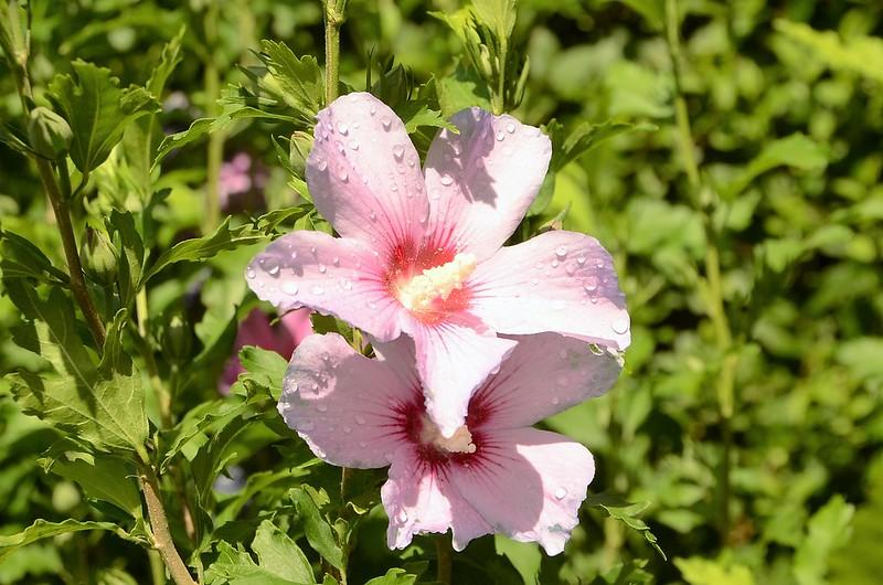 Hibiscus 04.08 (8)