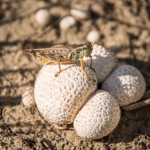 grasshopper on mushroom