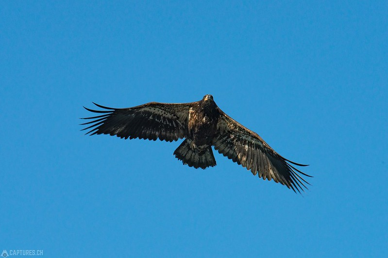 Golden eagle - Valdez