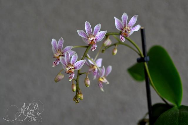 Phalaenopsis Donna's Delight 28670209765_8508ff05e1_z