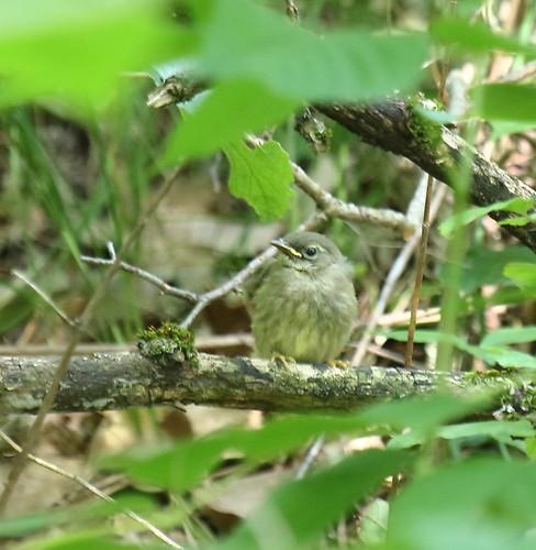 Black throated Blue Warbler Fledgling 924 7-10-16