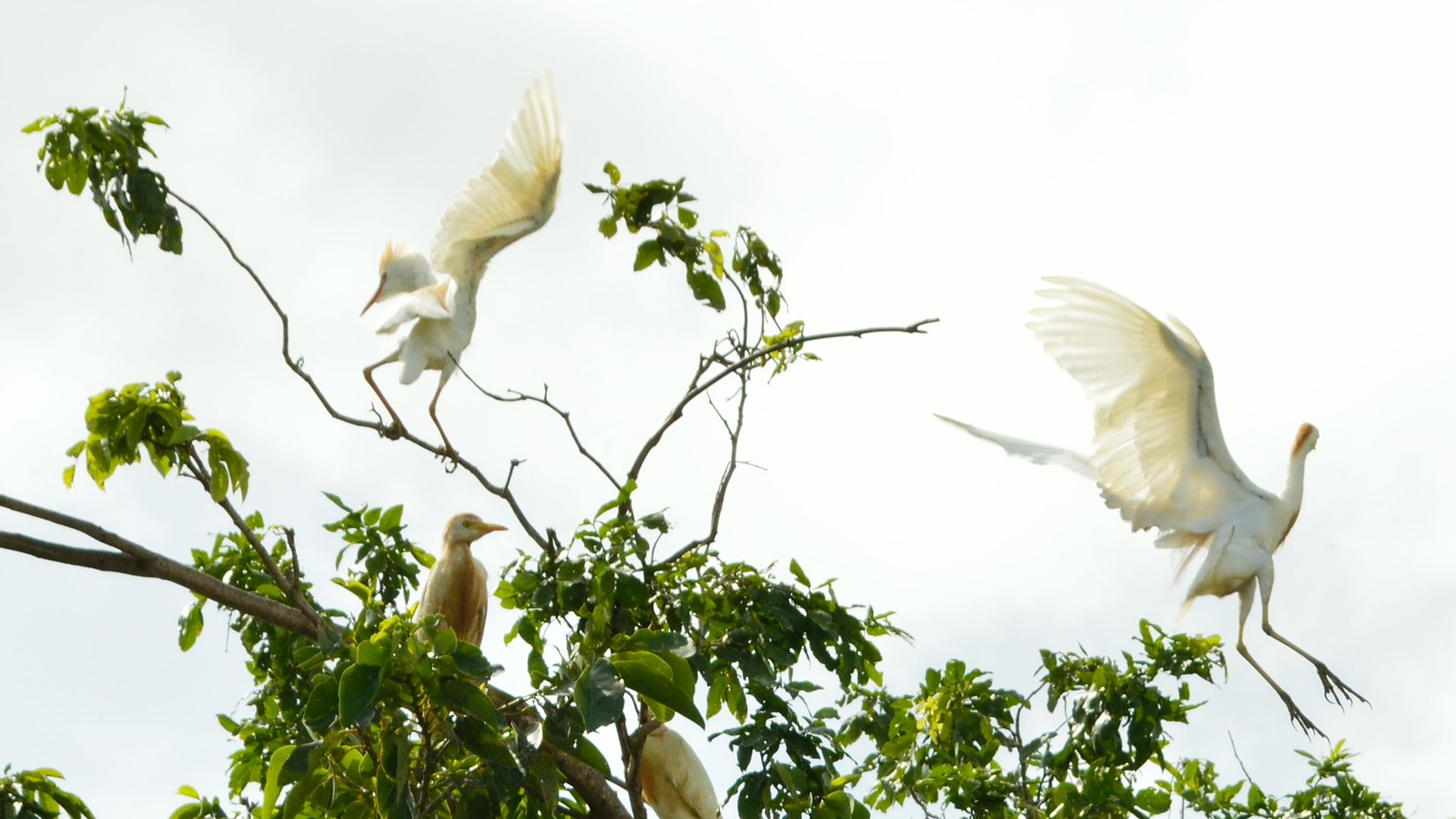 Cattle egret community