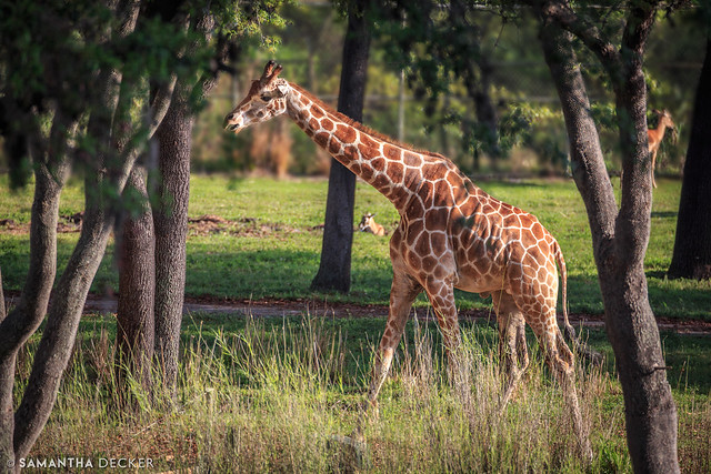 A Giraffe on the Savanna