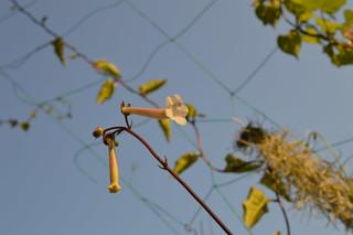 DSC_3733 Sinningia tubiflora シンニンギア 上海の女王 Hardy White Gloxinia