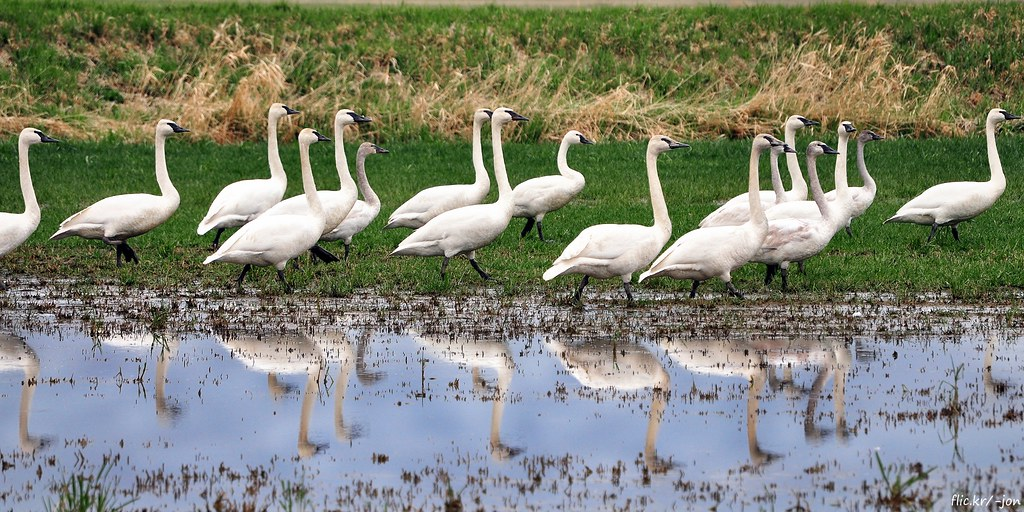 2013-03-05 Trumpeter Swans & Tundra Swans (D90 Archives) (2048x1024)