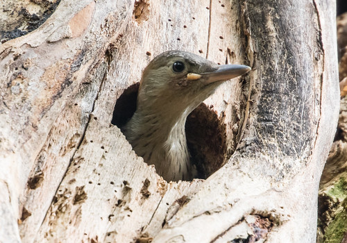 Nesting Red-bellied Woodpeckers: Final Update