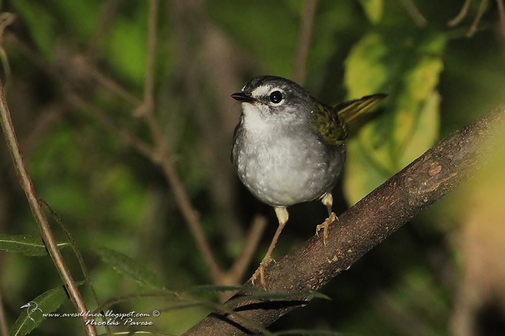 Arañero Silbón (White-rimmed Warbler) Myiothlypis leucoblephara