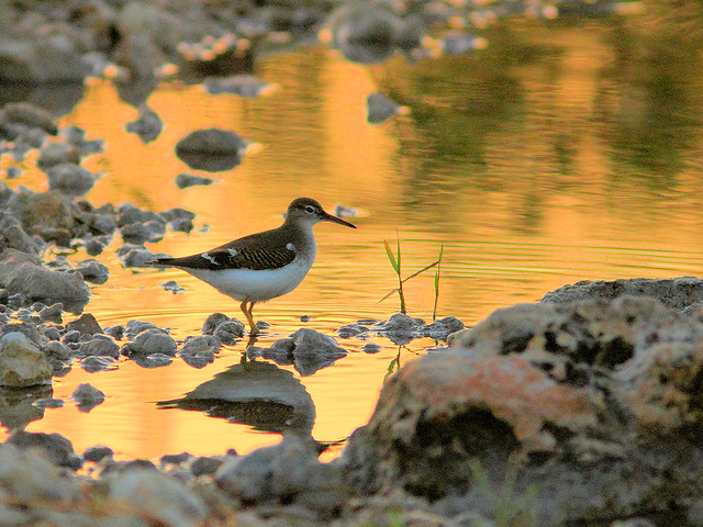 Spotted Sandpiper HDR 03-20160823