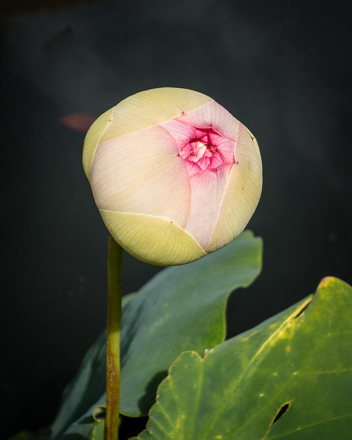 grapefruit sized lotus bud