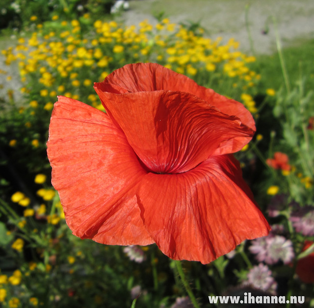 Poppy in red - photo by Hanna Andersson @ihanna #sweden