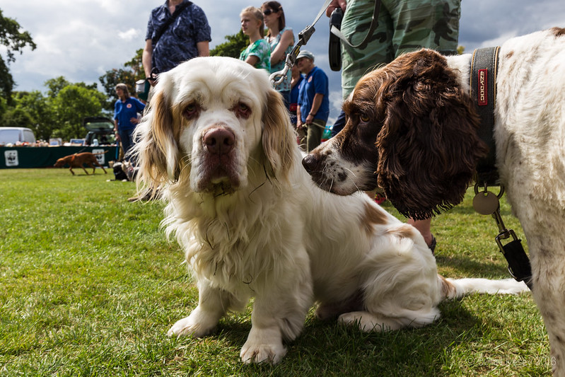 Max and Bailey, a Clumber Spaniel