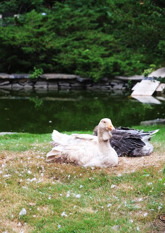Halifax Public Gardens Swans