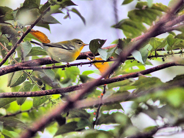 Northern Parula HDR  20160913