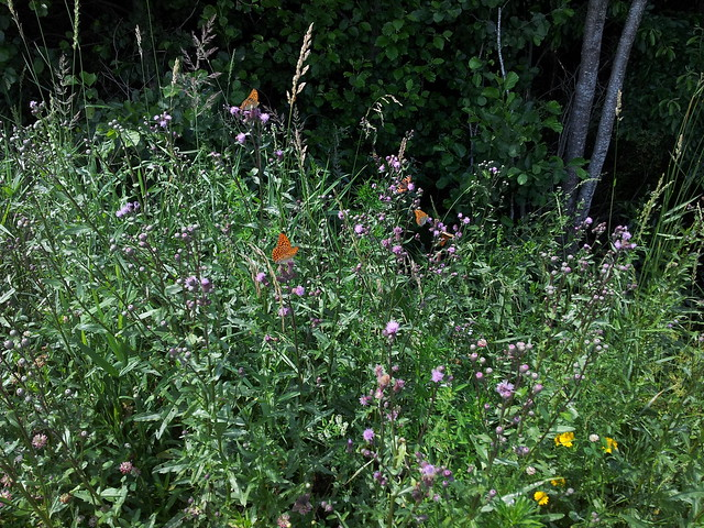 Thistles with butterflies