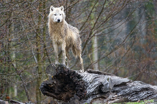 White Wolf - Standing Alone / Endangered Species
